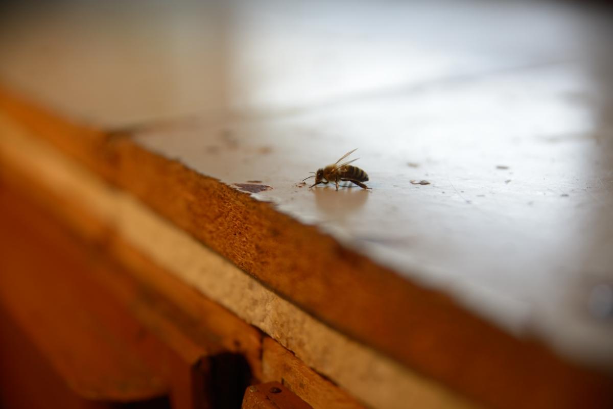 FortschRitter 069 Biene.JPG