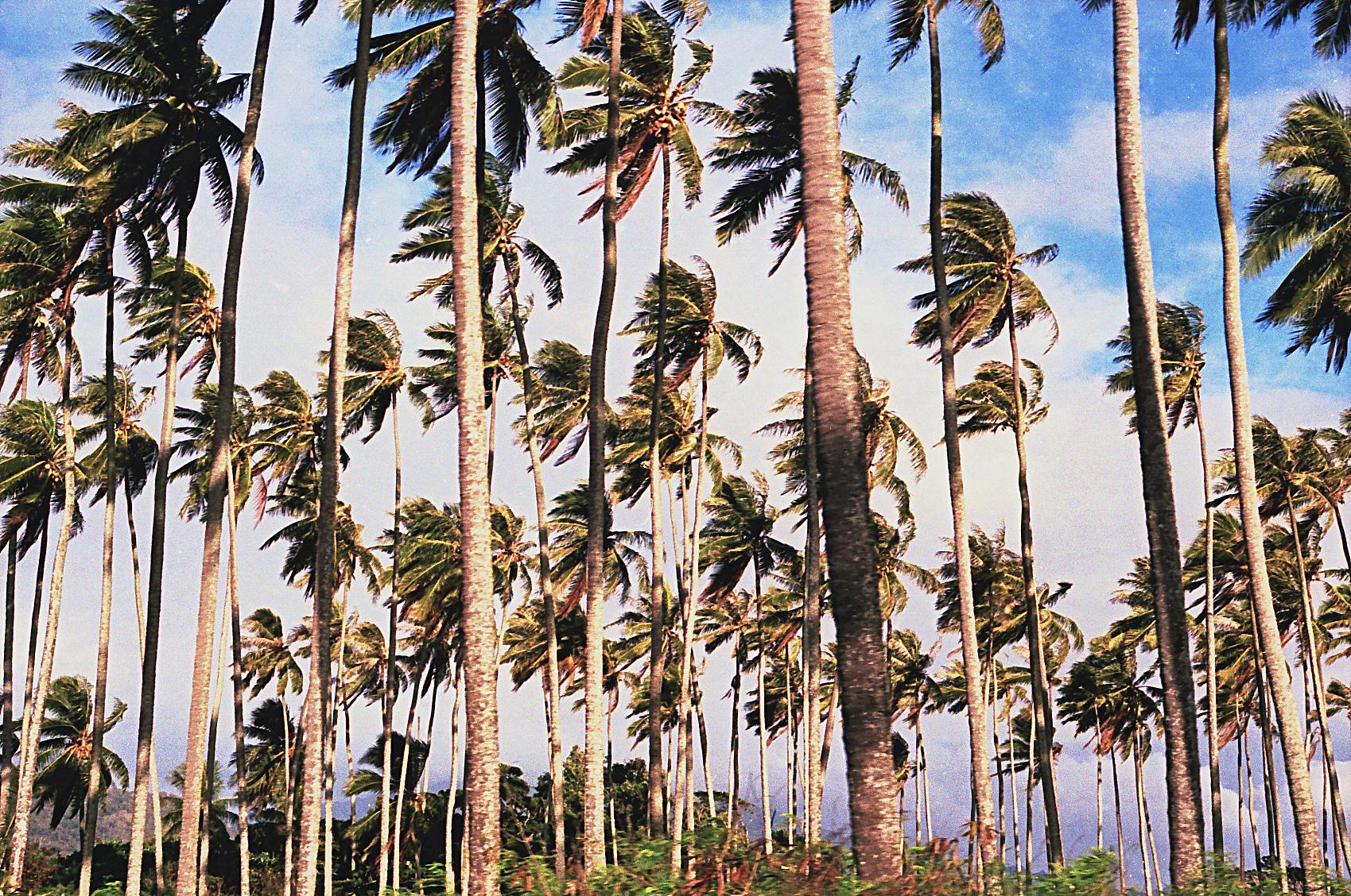 Palm Trees near Kapa'a