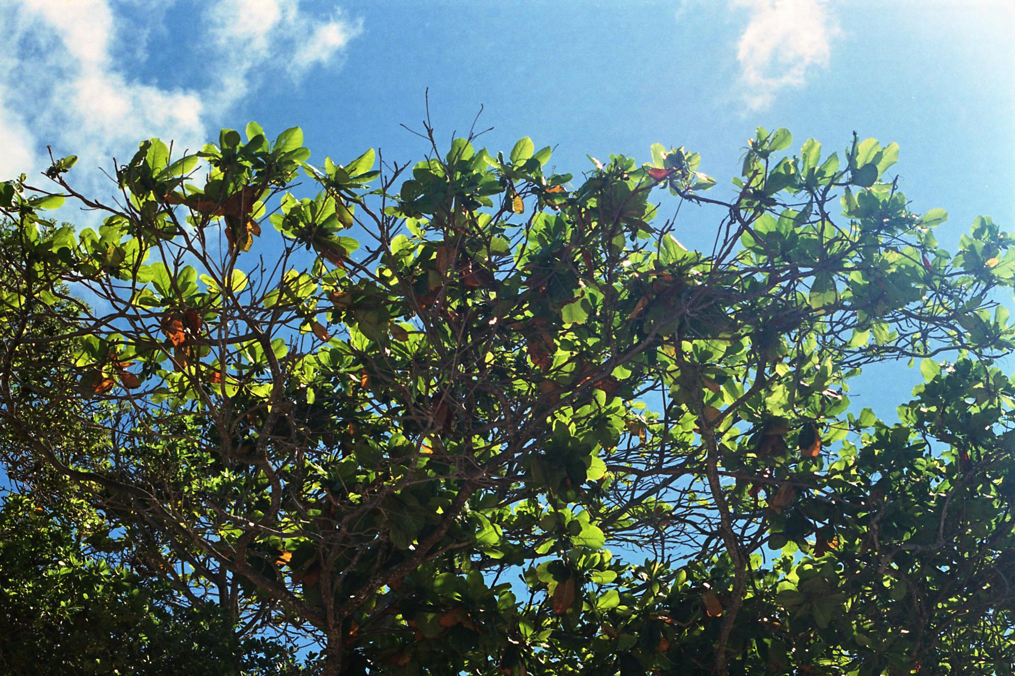 Leaves of Larsen's Beach