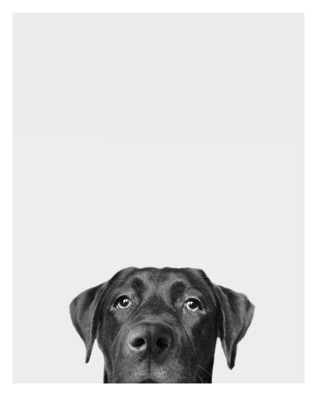 lab puppy portrait gina paulson photography