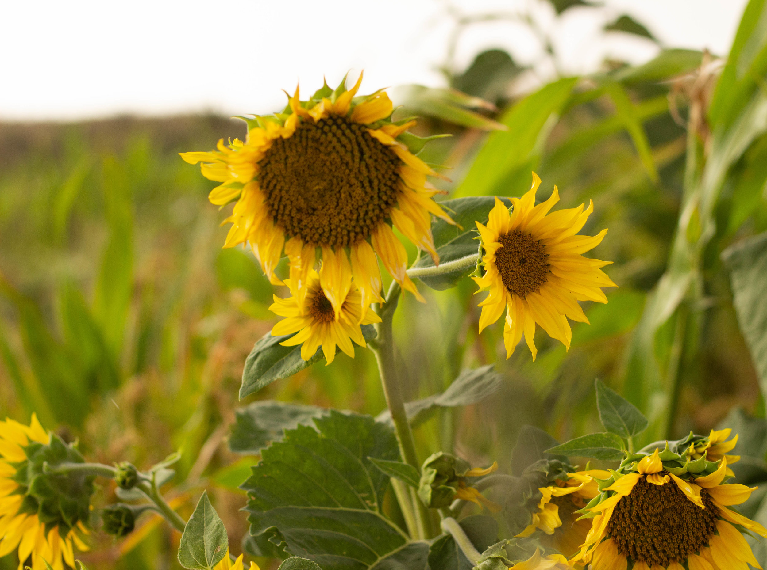 Sun Flower Cover Crop.jpg