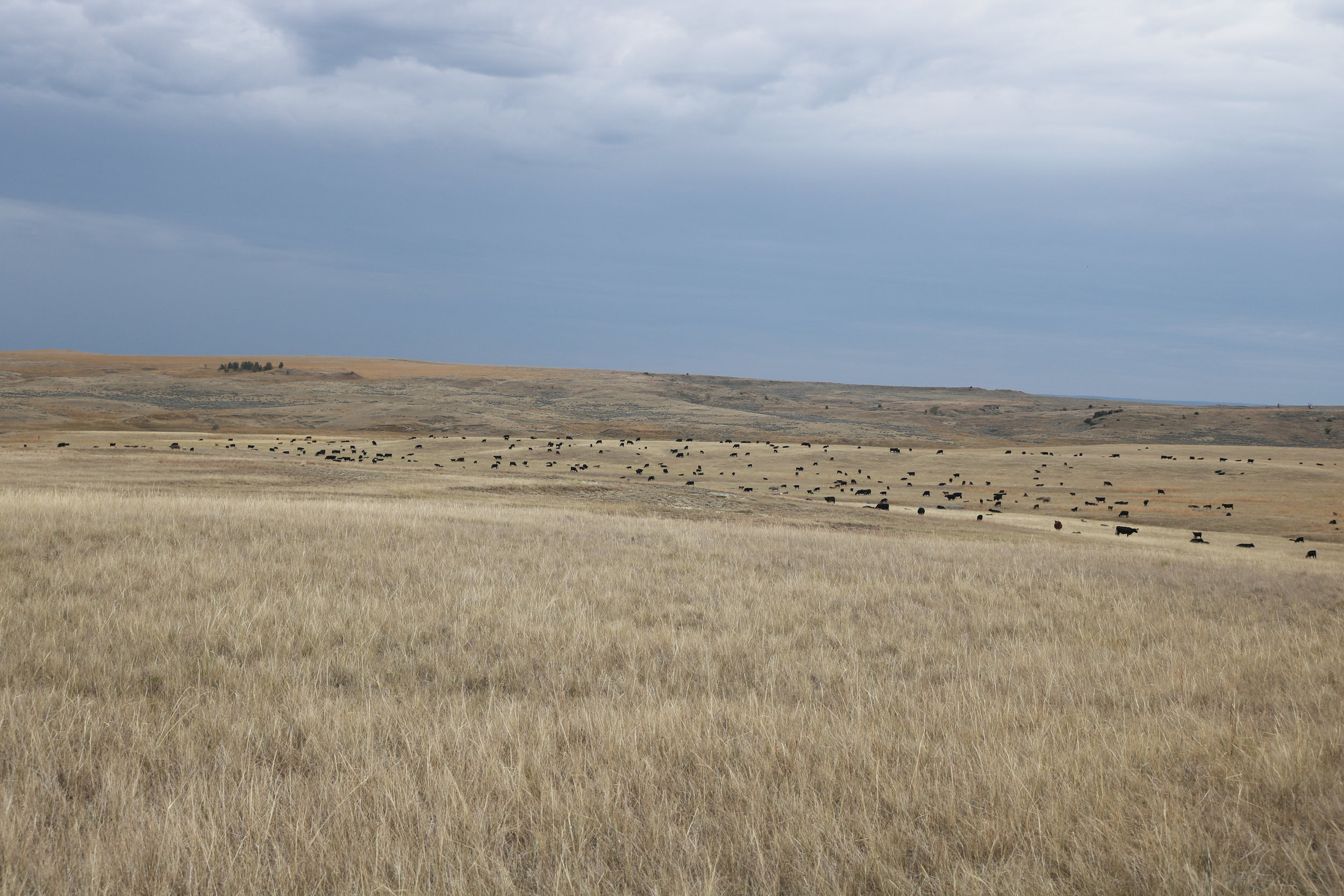 Cattle on the Milton Ranch