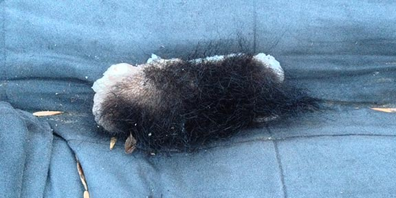 Brick-sized strip of a bear's flesh, left for us out of spite by a trophy hunter. Dec 2015.