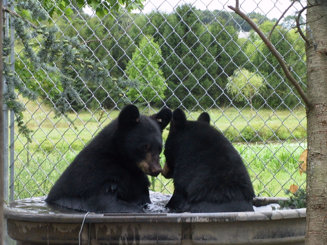 The two orphan cubs rescued by the Bear Group, all grown up at the rehabbers.