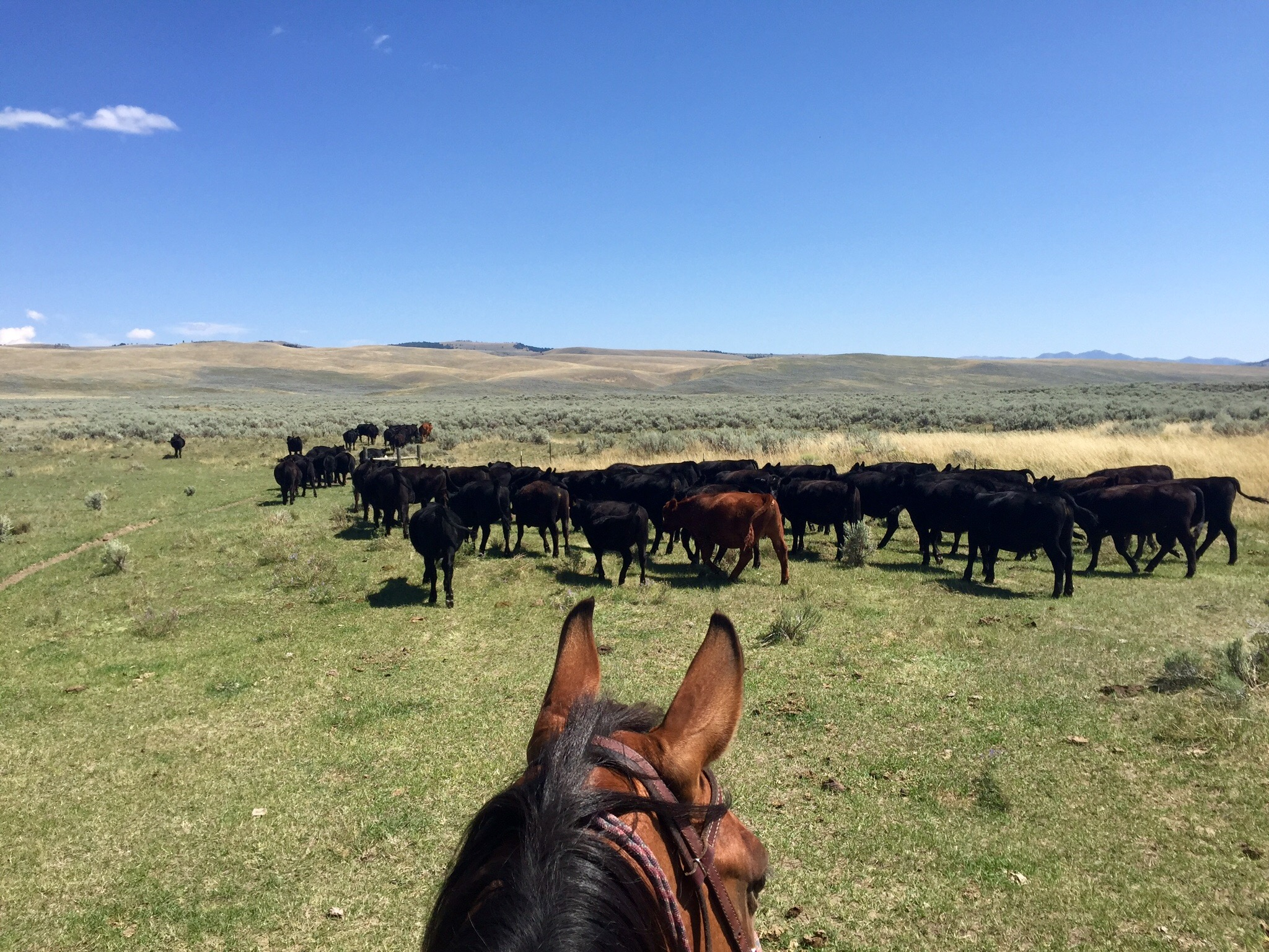 Shana Dunkley's view from atop her horse Jackson. They're rounding up and grouping cows, and looking for any sick, injured or otherwise vulnerable animals that might catch an opportunistic grizzly's eye. Range riding is all about increasing the human presence on the landscape, and about handling a herd of cattle in a way that rekindles their herd instincts. Both these things keep cows safer from grizzlies than if they were simply turned out onto Forest Service or BLM lands and rounded up at the end of summer. (Photo GYC)