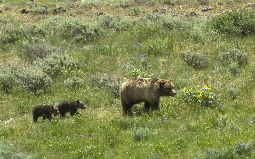 Grizzly sow and two cubs. (Photo Tom Murphy.)