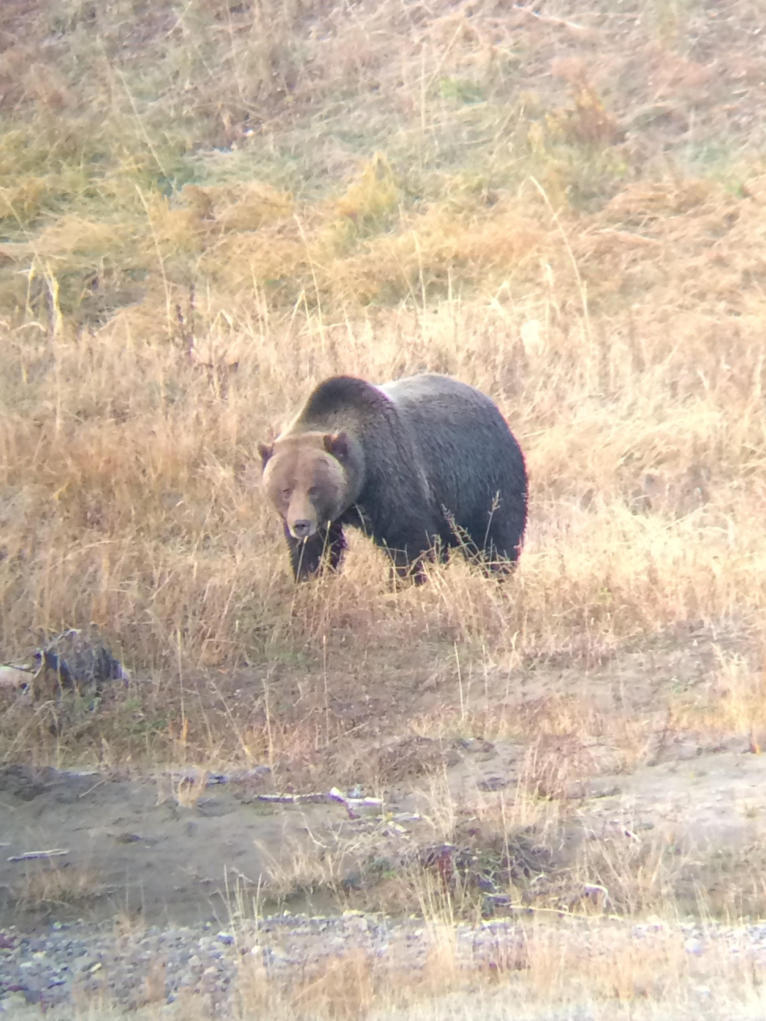 Grizzly bear in Yellowstone. We're speaking out for wise bear management as Wyoming holds public meetings. (Photo GYC.)