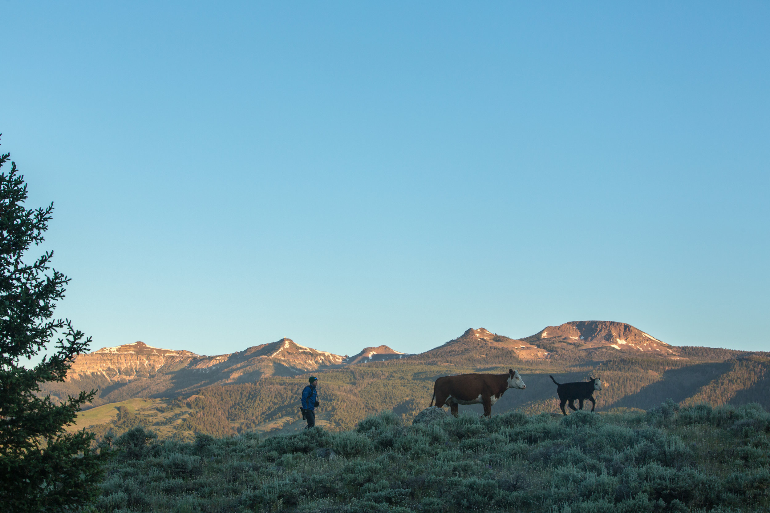 A Tom Miner Basin range rider checks on cattle in early summer.  Tom Miner Basin is 19 miles northwest of Gardiner, Montana - a boundary to Yellowstone National Park. It is home to a resident pack of wolves, and several resident adult grizzly bears. There are five working ranches located in the upper portion of the Tom Miner Basin.