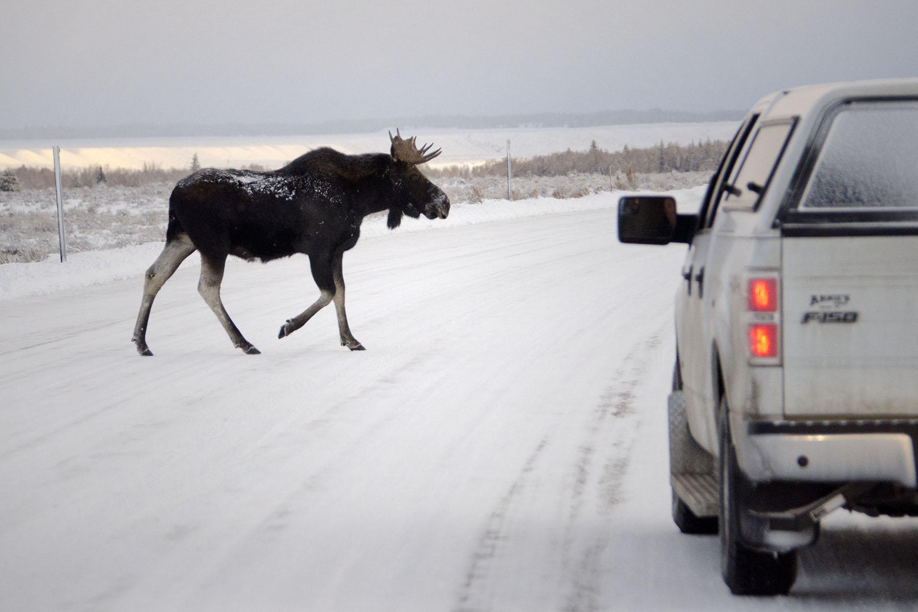Moose crossing a road in Greater Yellowstone. (Photo courtesy Mark Gocke.)