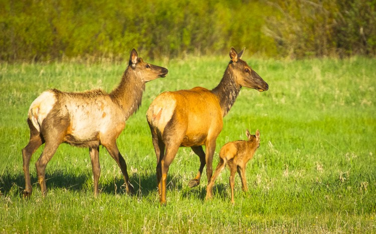 Research shows that our big game migrations are learned behaviors, passed down from generation to generation by each mother to her offspring. Elk, and other migratory species display a high fidelity to migration routes and habitat, returning to the same locations, year after year. (Photo courtesy Taylor Phillips.)