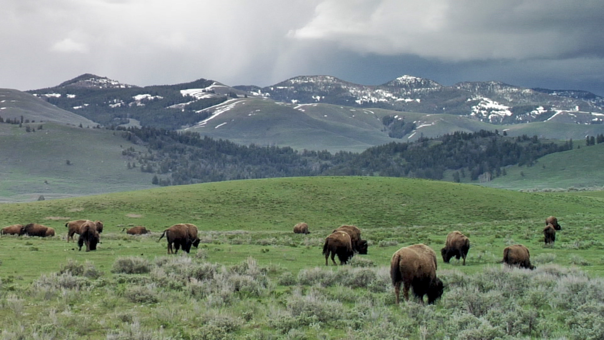 Wild Yellowstone bison roaming the Greater Yellowstone Ecosystem as they have done for centuries.(Photo GYC.)
