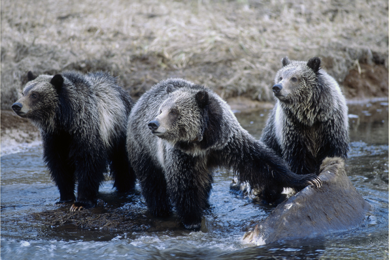 A female grizzly and her two cubs feed on a carcass in Yellowstone National Park. Photo courtesy of Tom Murphy.
