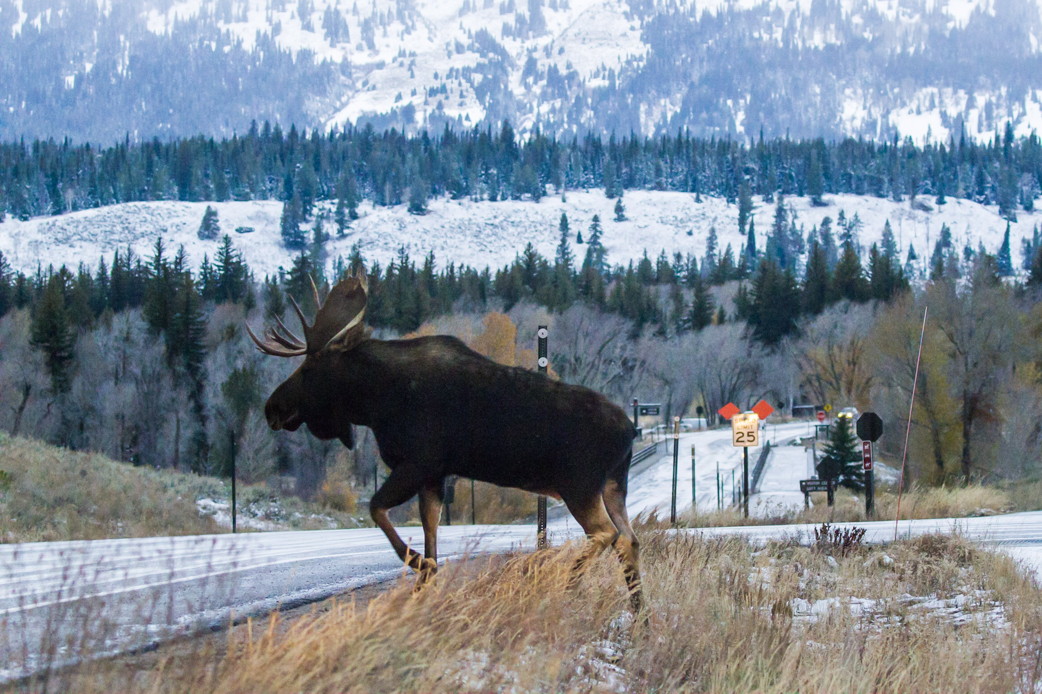 A bull moose crosses the highway in Grand Teton National Park near Jackson, Wyoming. Teton County just adopted a plan that will eventually make local roads safer for both drivers and wildlife. (Photo courtesy Josh Metten.)