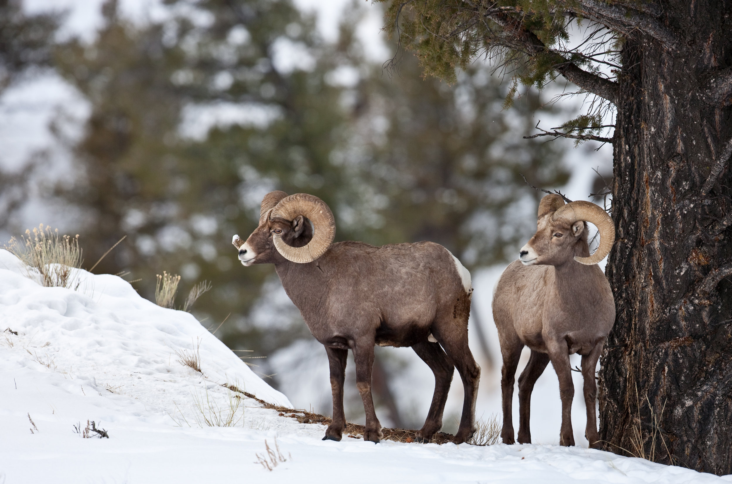 Bighorn sheep are dependent on undisturbed, critical winter habitat in order to survive harsh winter conditions. Please - don't poach the powder. (Photo Cindy Goeddel)