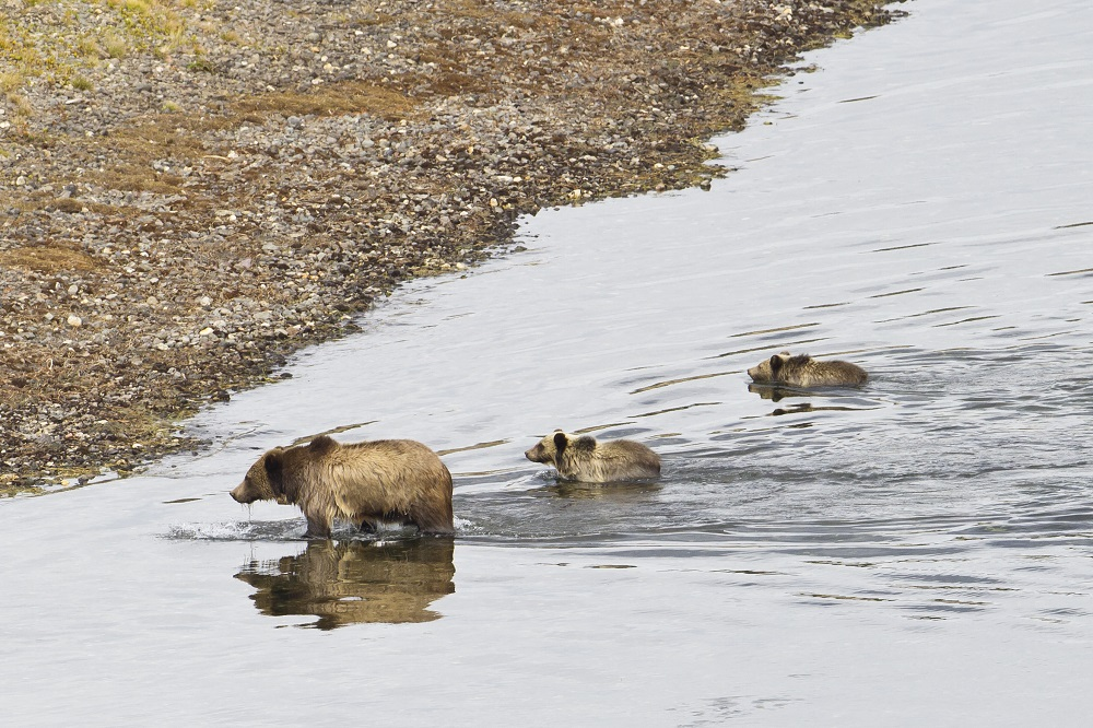 A mother grizzly and her two cubs cross a river in Yellowstone. (Photo Cindy Goeddel.)