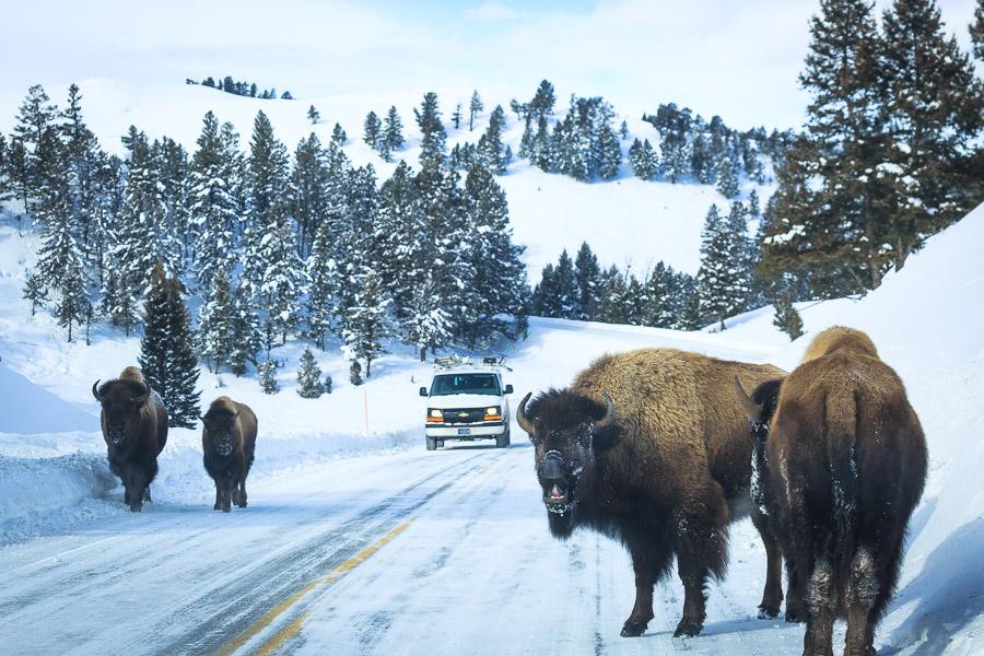 Careful - Bison on the road! (Photo Josh Metten/Jackson Hole EcoTour Adventures.)