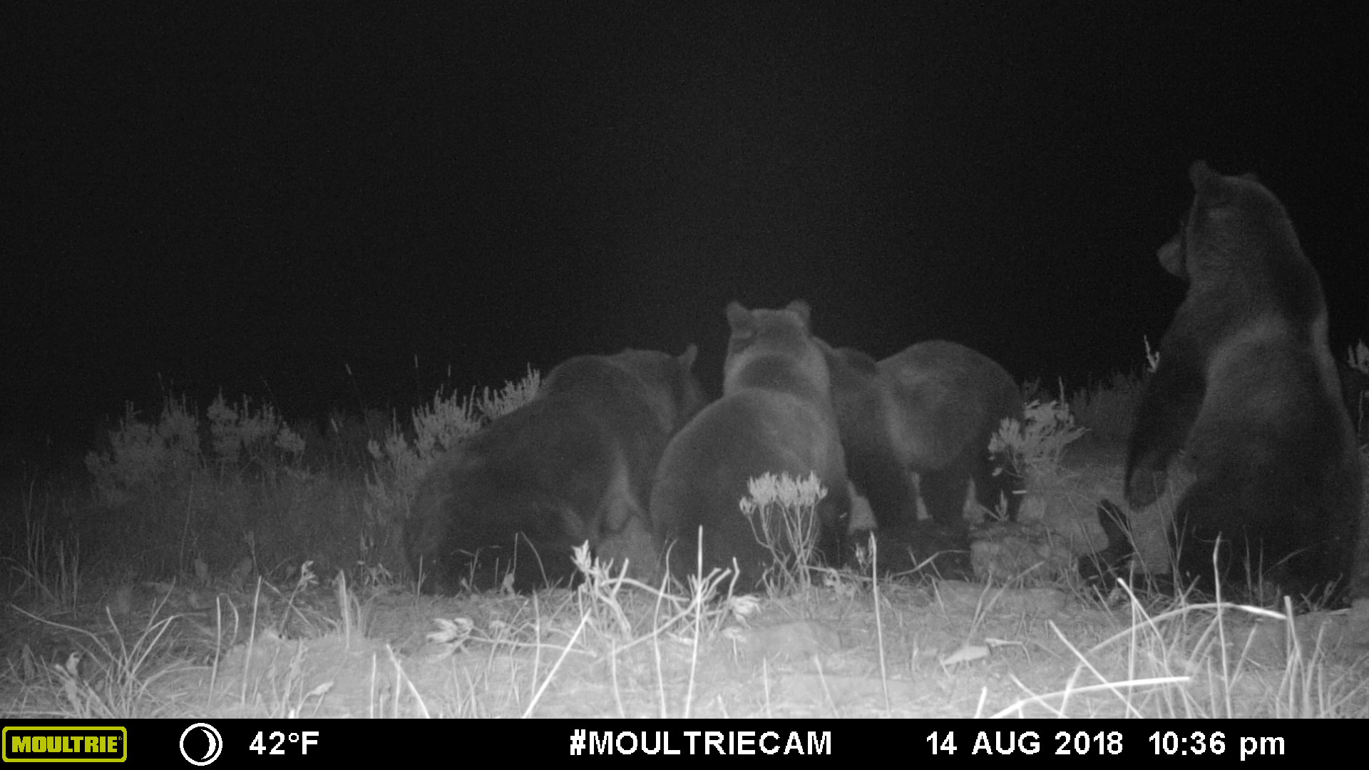 Four grizzly bears caught on a carcass with a trail cam. (Photo Amber Mason.)