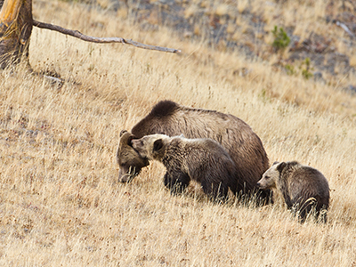grizzly sow and cubs.jpg