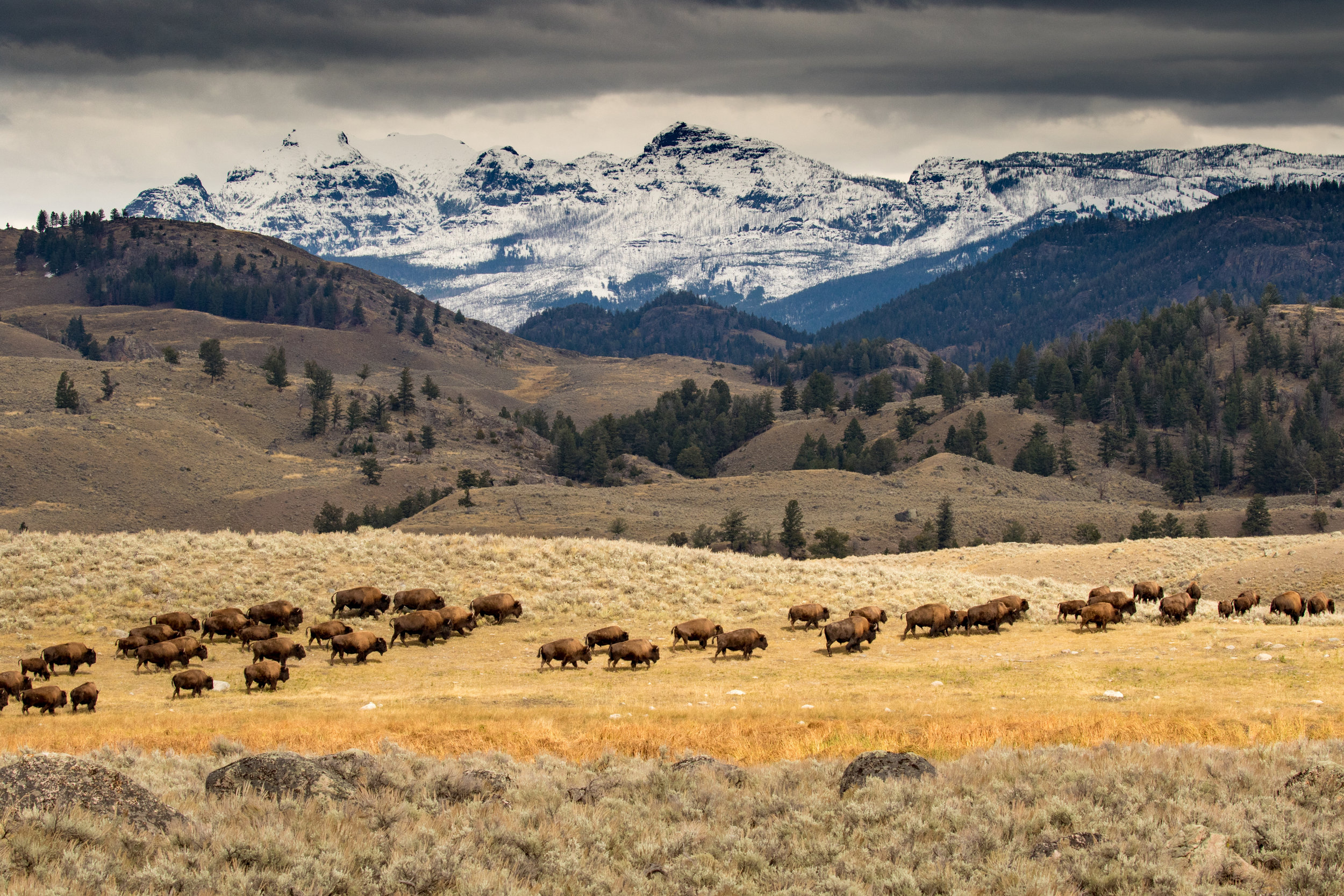 A herd of bison moving through northern Yellowstone. (Photo Cindy Goeddel.)