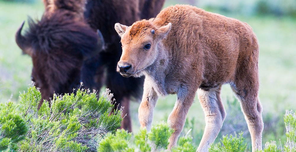 A bison calf, or red dog, in Yellowstone National Park. (Photo Cindy Goeddel.)