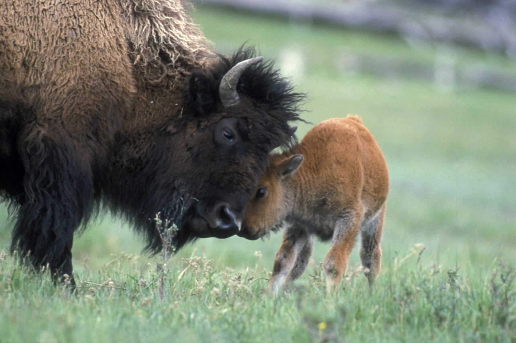 A bison calf and mother bison in Yellowstone National Park. (Photo Tom Murphy.)