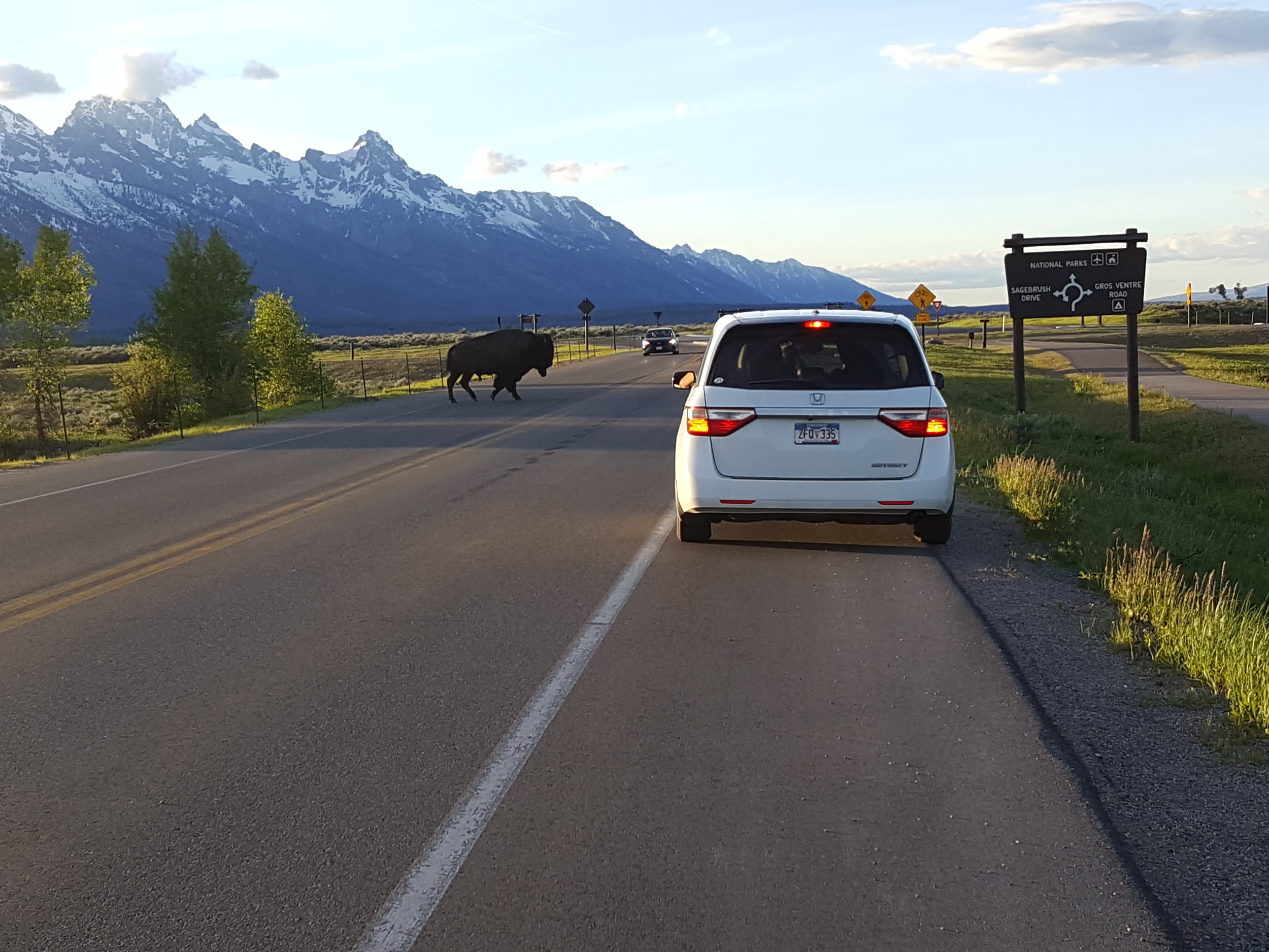 A lone bison crossing the road near Jackson, Wyoming and Grand Teton National Park. (Photo GYC.)