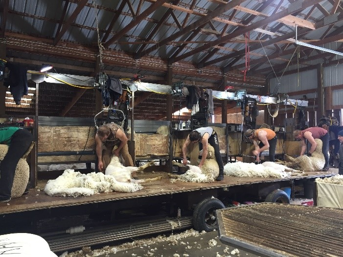 Shearers sharving Helle's Rambouillet sheep. The wool will be used in Duckworth clothing. (Photo GYC.)