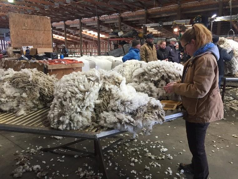 Inspecting freshly sheared wool. (Photo GYC.)