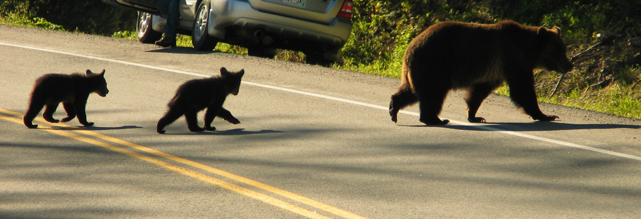 A mother grizzly and her cubs crossing a busy road. (Photo Len Trout.)