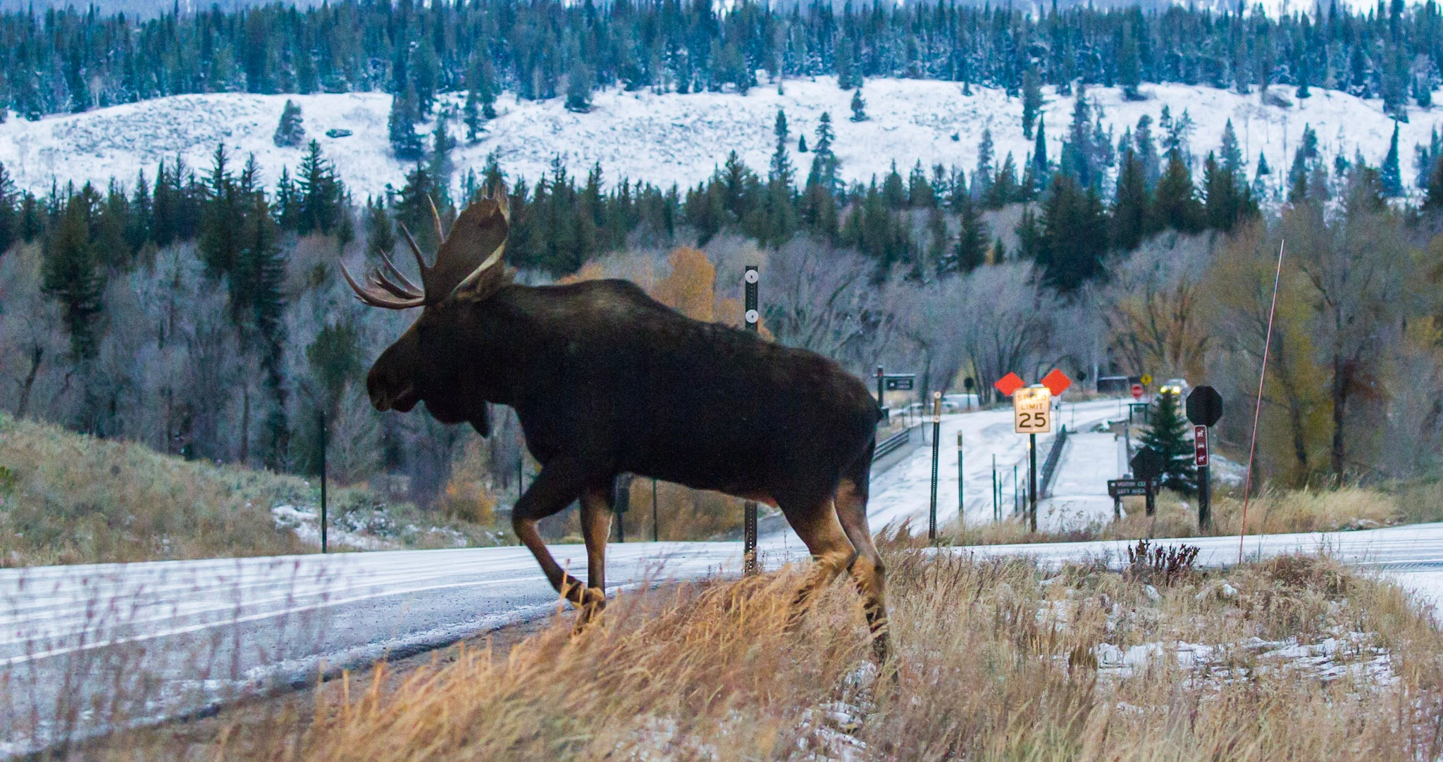 A moose attempts to cross a road near Jackson, Wyoming. (Photo Josh Metten.)
