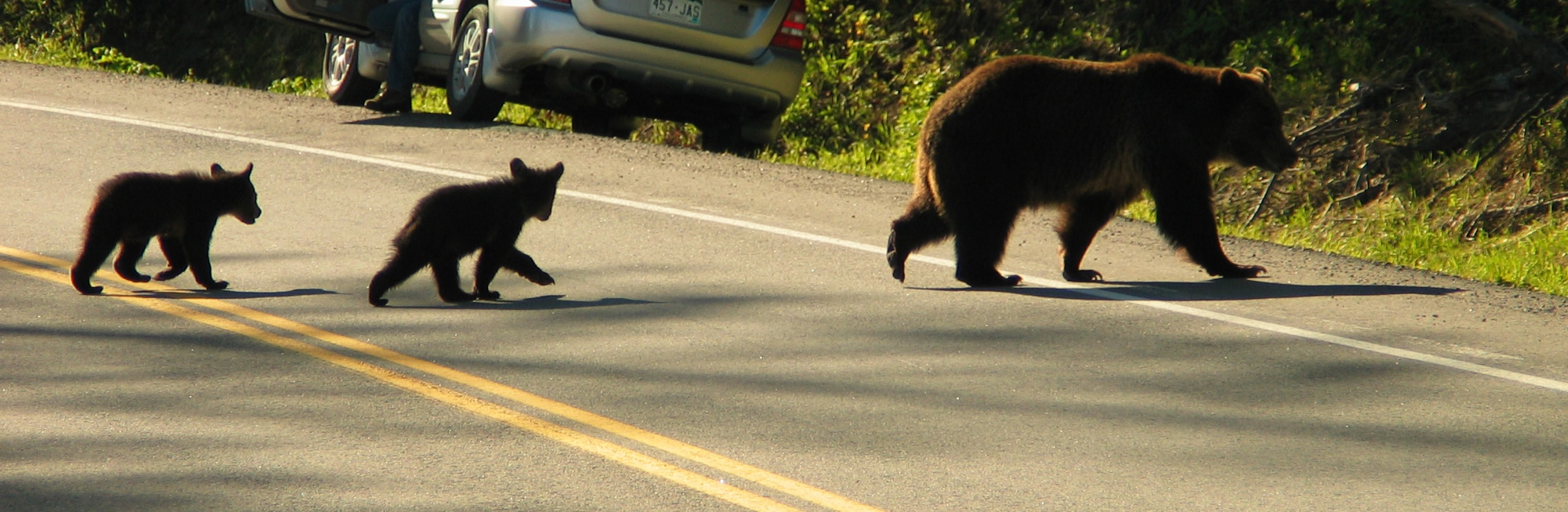 A grizzly mom and her cubs make their way across a busy road. (Photo Len Trout.)