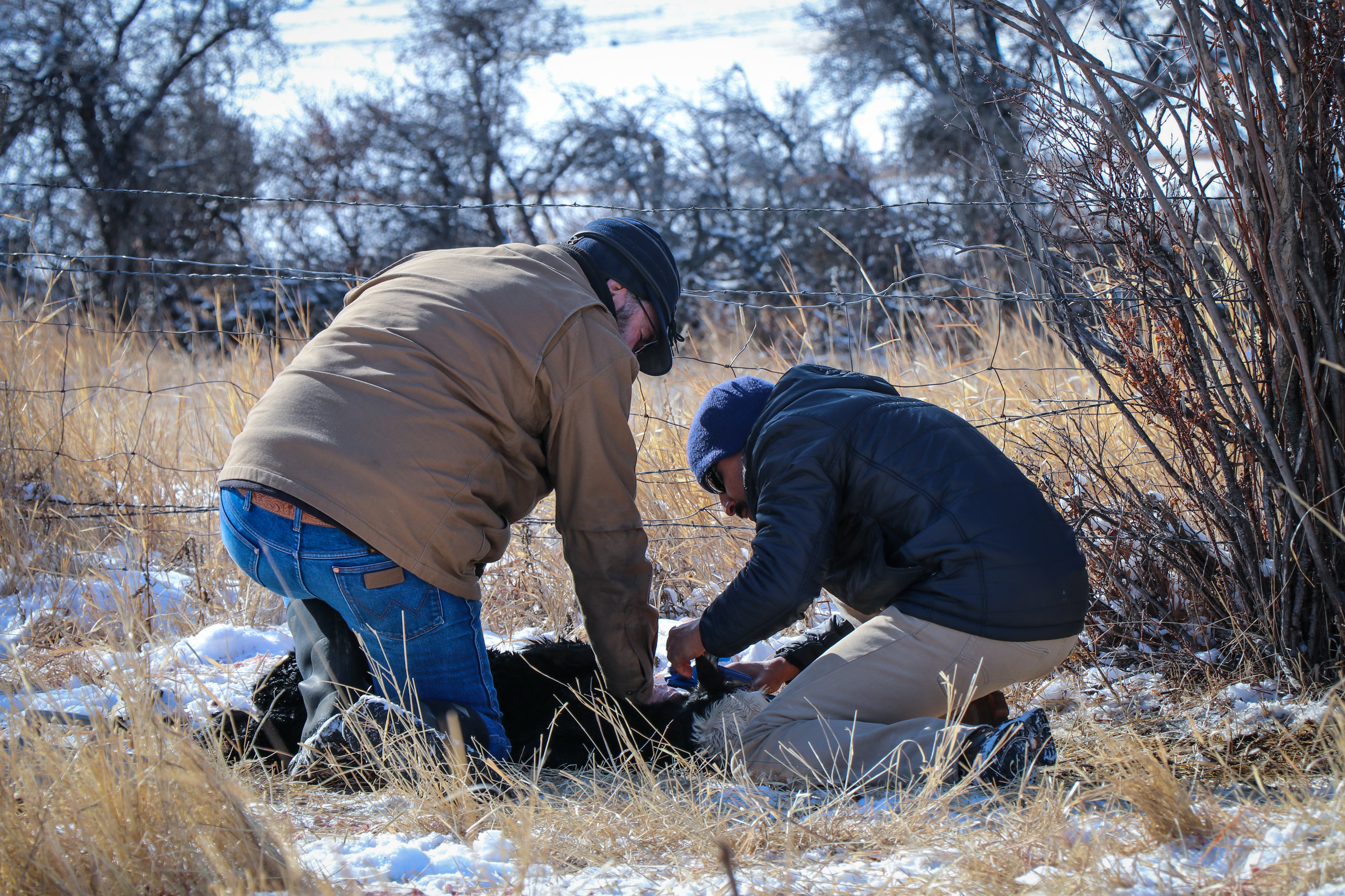 GYC's Director of Conservation Siva Sundaresan (right), tags one of rancher Neil Barnosky's newborn calves. The tags identify which calf belongs to which cow.  (Photo GYC/Emmy Reed.)