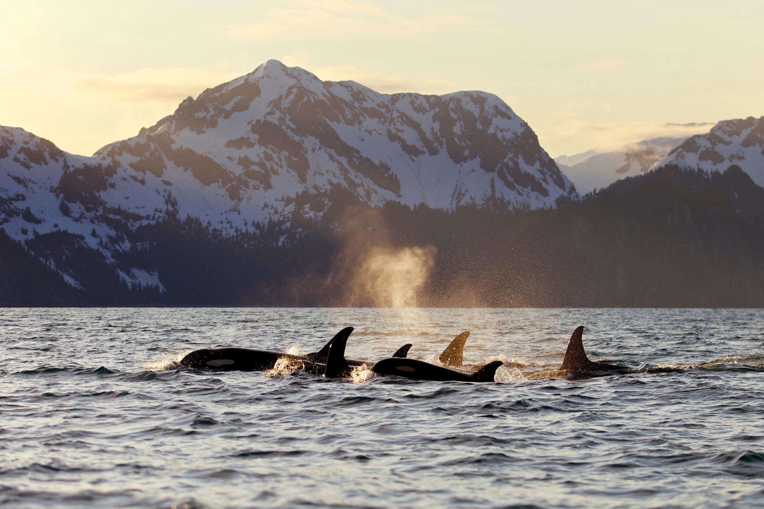 AL_CPXY9W_Orcas_Kenai Fjords National Park.jpg