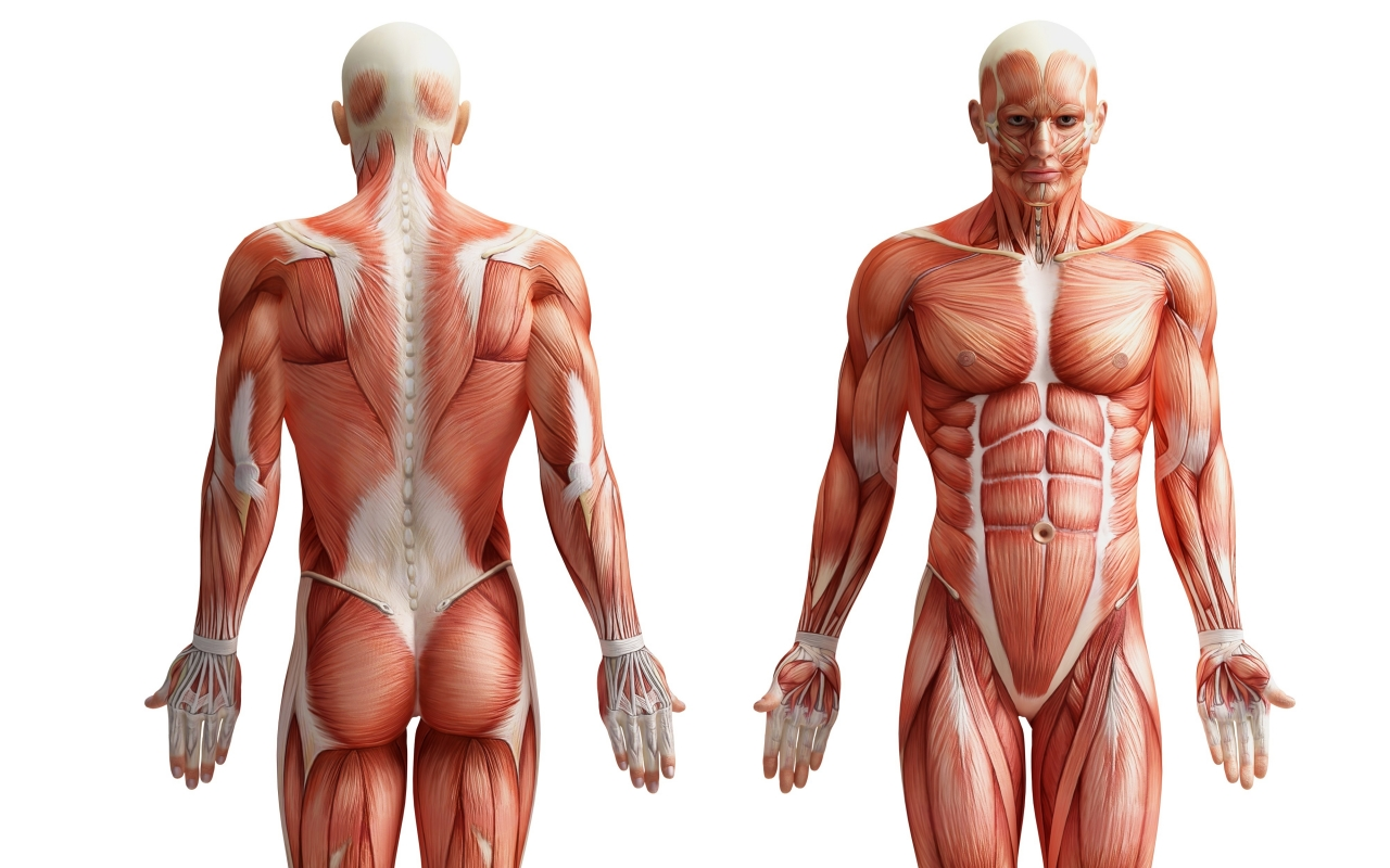 Neuromuscular Anatomy  - Provided a comprehensive understanding of the muscular, nervous, digestive, cardiovascular and respiratory systems.