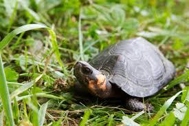 Bog Turtle Image.jpg