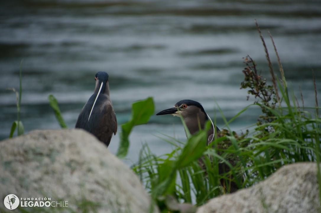 (4) Aves en Humedal Las Ranas, el más extenso de la ciudad de Llanquihue (2016) © German Guzmán, Fundación Legado Chile para LOFscapes