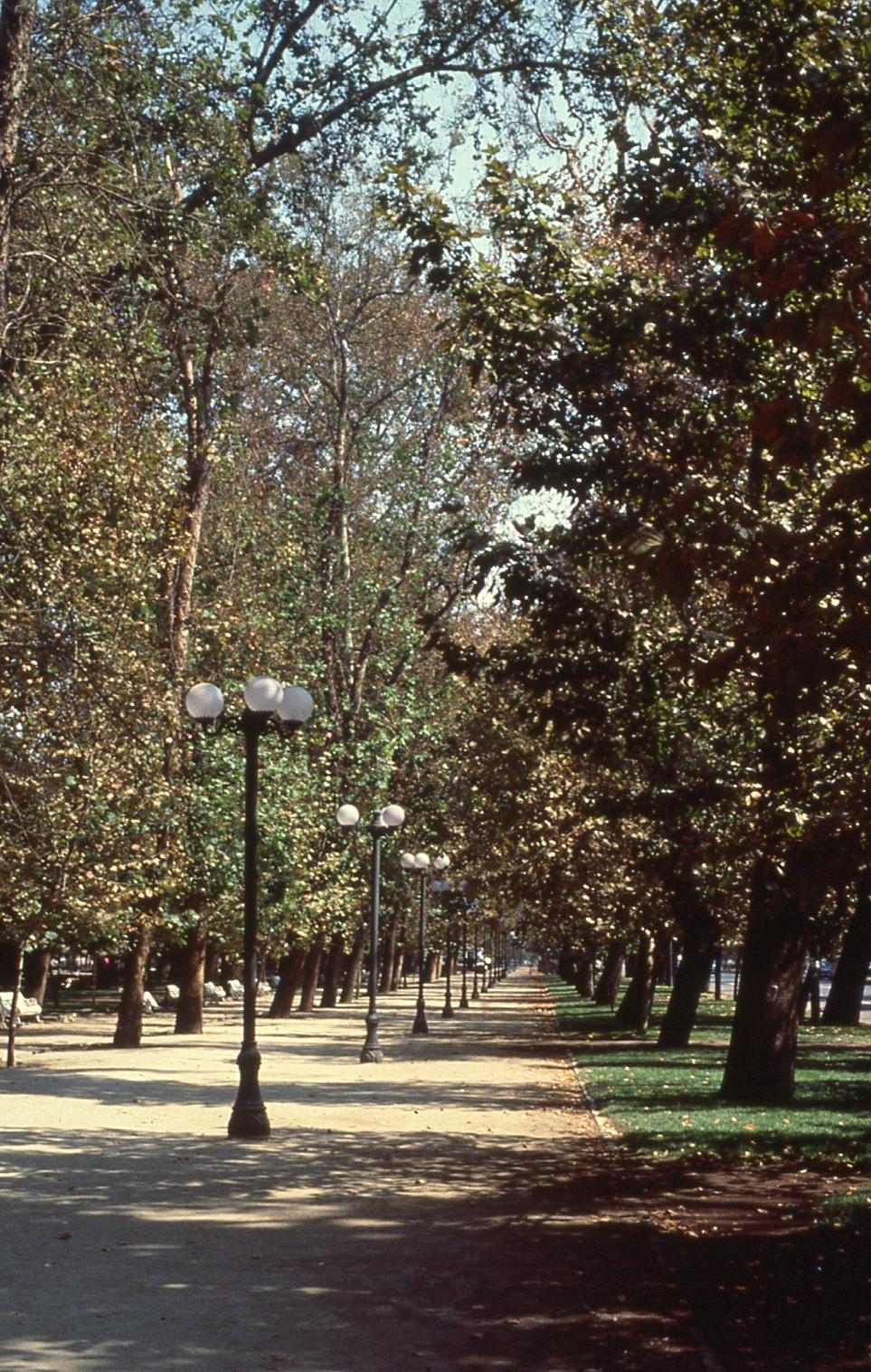 (2)  Platanus spp  en el Parque Forestal (c.1989) © Teodoro Fernández y Montserrat Palmer,  Árboles en la Zona Central  (inédito, investigación VRI)