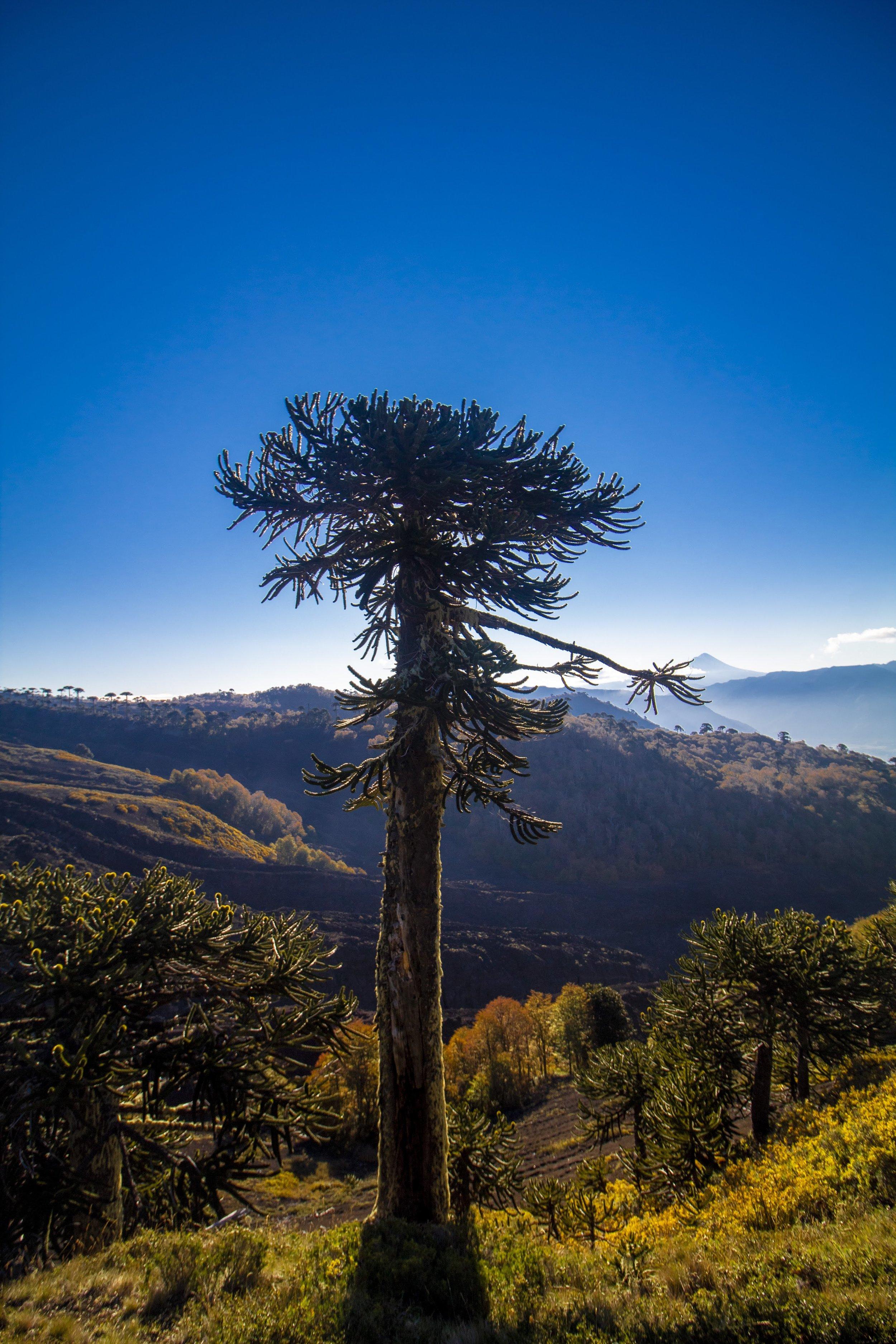 (8) Reserva Nacional Villarrica © Ignacio Castro U. para LOFscapes.