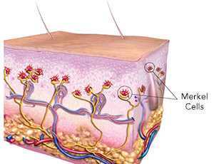 - Normal Merkel cells in the skin: In this illustration of a cross-section of skin, normal Merkel cells are shown in red and connect to nerves shown in yellow. The structures drawn include the epidermis (upper third), dermis (middle), and deeper adipose layer containing the fatty tissue. Arteries are depicted as red and veins are blue.