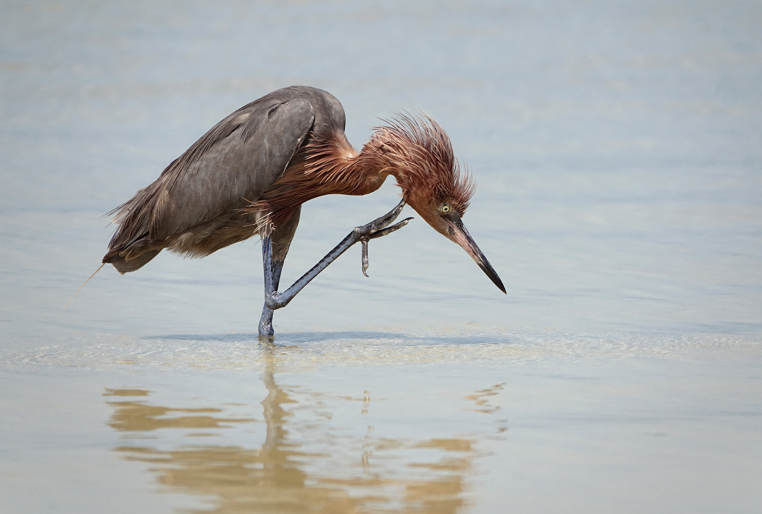 REDDISH EGRET (Egretta rufescens), Isla Holbox, Mexico, April, 2018