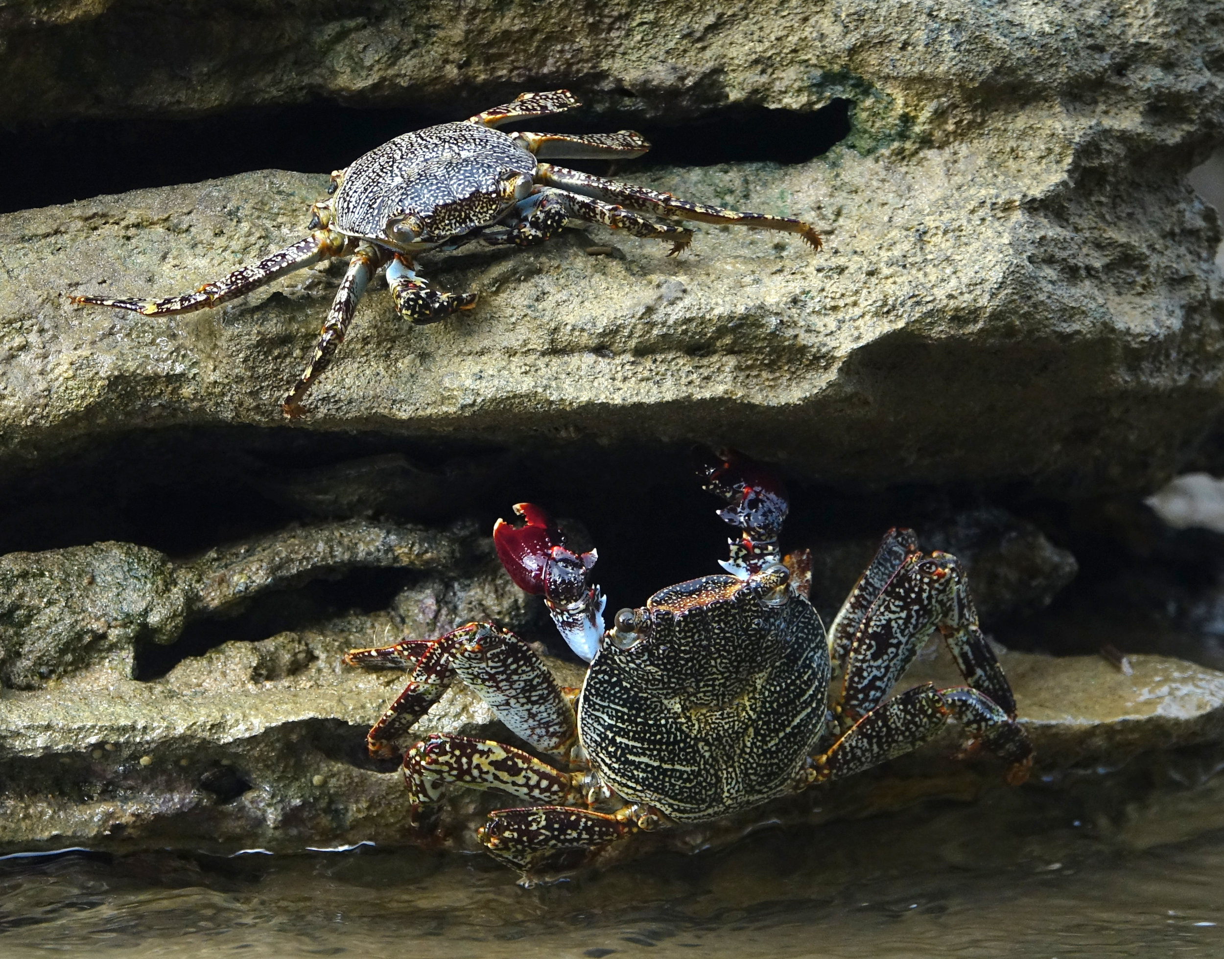 Grapsus spp., Basse-Terre, Guadeloupe, December 2017