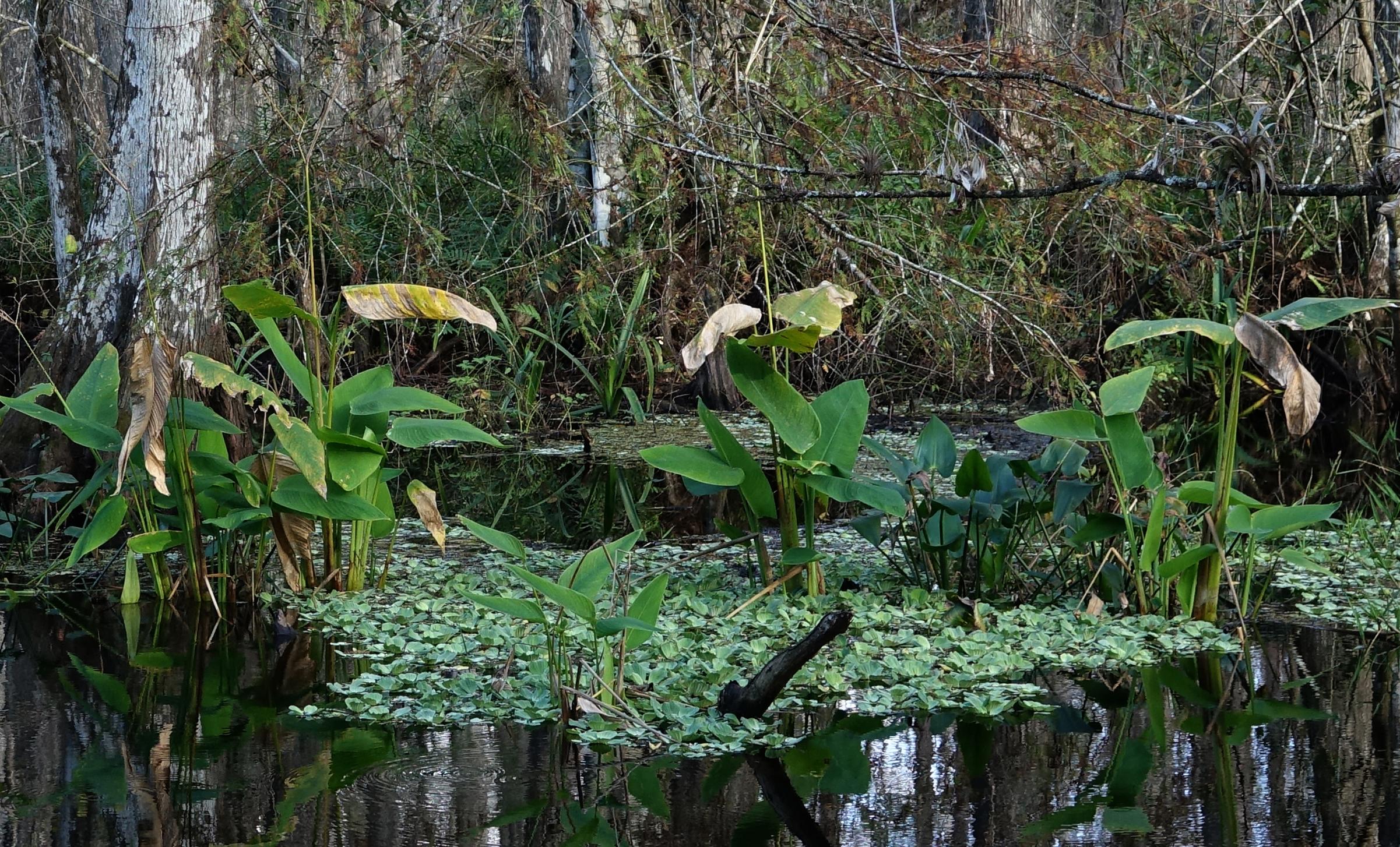 ALLIGATOR FLAG ( Thalia geniculata)  and WATER LETTUCE ( Pistia stratiotes),  Corkscrew Swamp Sanctuary, Florida, January 2nd, 2019