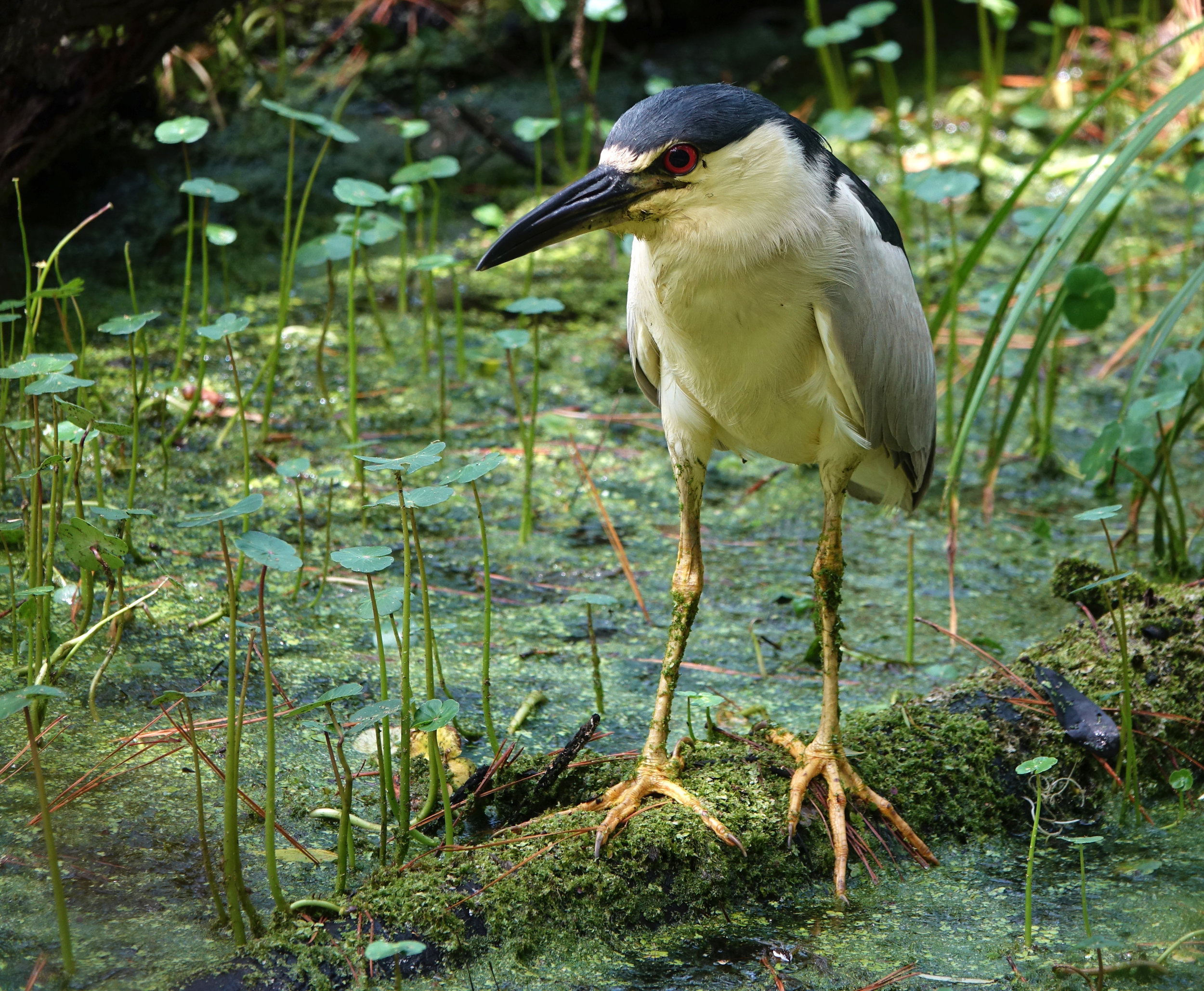 BLACK-CROWNED NIGHT HERON, ( Nycticorax nycticorax ), South Carolina, July, 2018