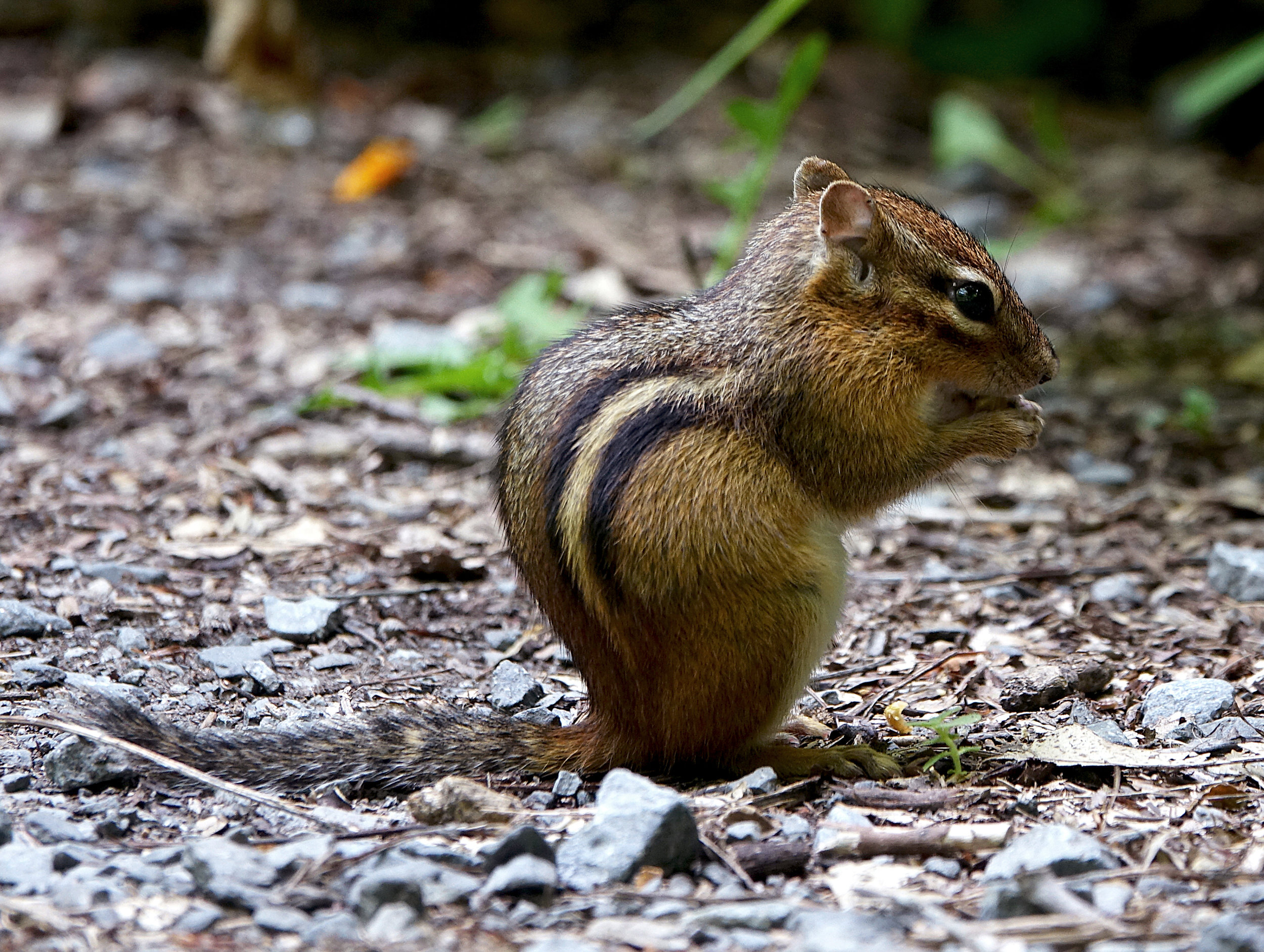 EASTERN CHIPMUNK ( Tamias striatus ), NYBG, NYC, July 2017