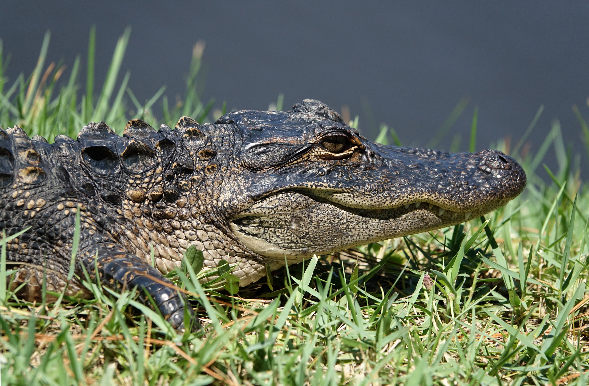 AMERICAN ALLIGATOR ( Alligator mississippiensis ), South Carolina, August 2017