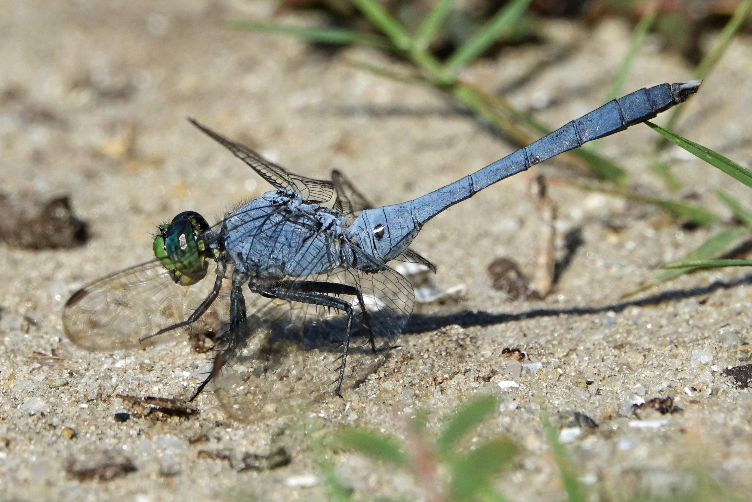 EASTERN PONDHAWK ( Erythemis simplicicollis),  South Carolina, August 2017
