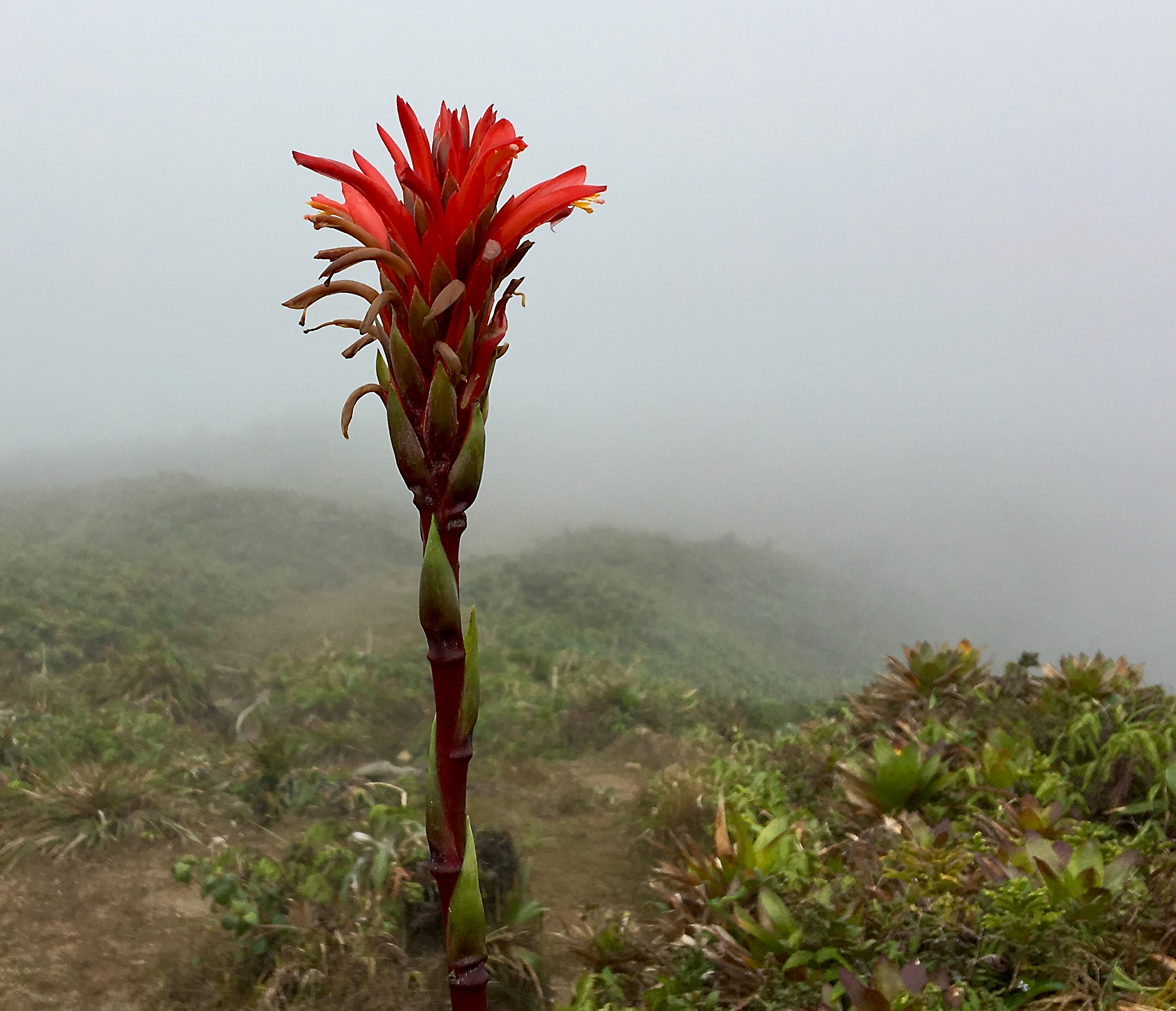 MOUNTAIN PINEAPPLE (Pitcairnia bifrons), Basse-Terre, Guadeloupe, March 2017