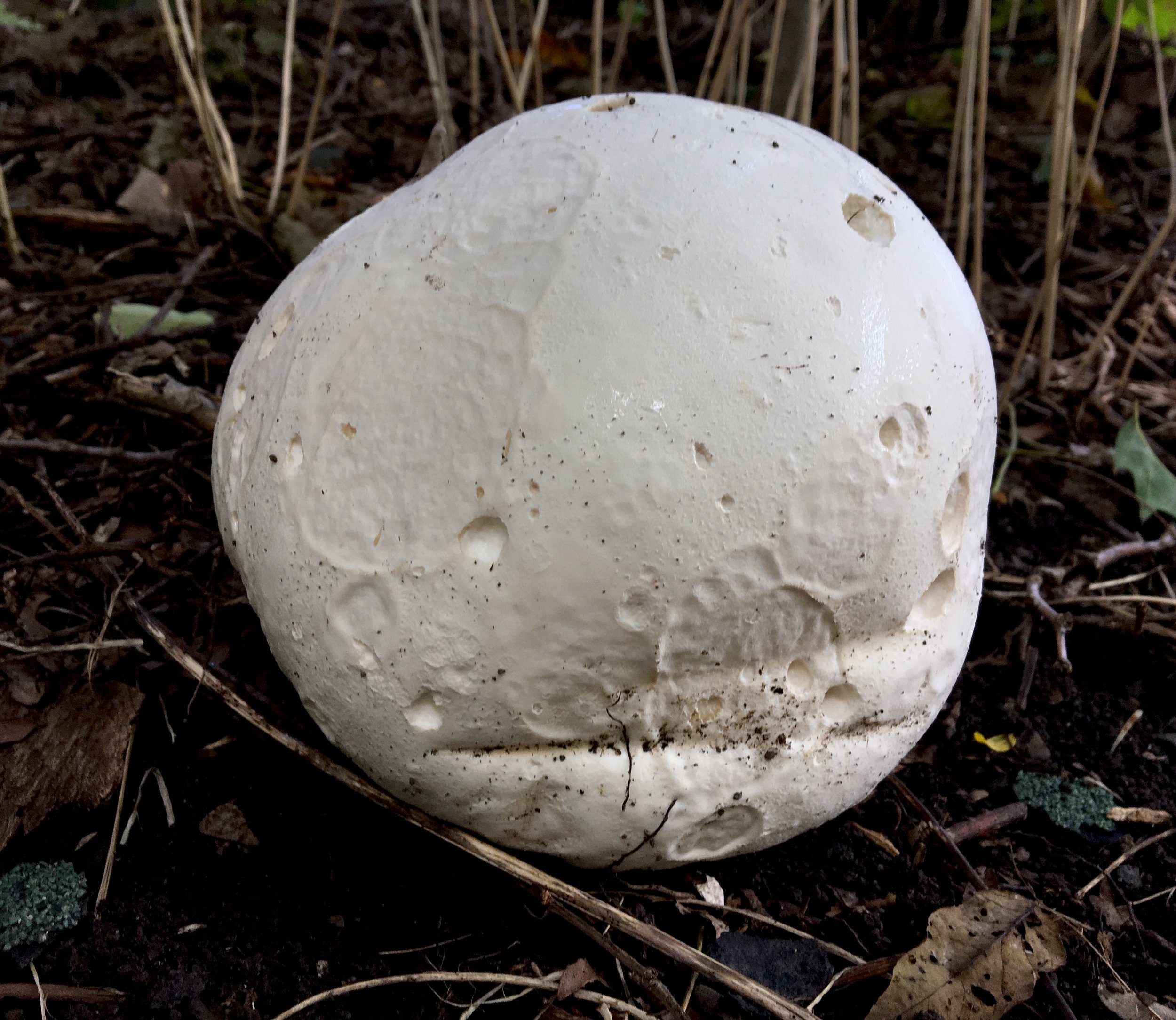 GIANT PUFFBALL ( Calvatia gigantea),  Mohonk Preserve, September 2017