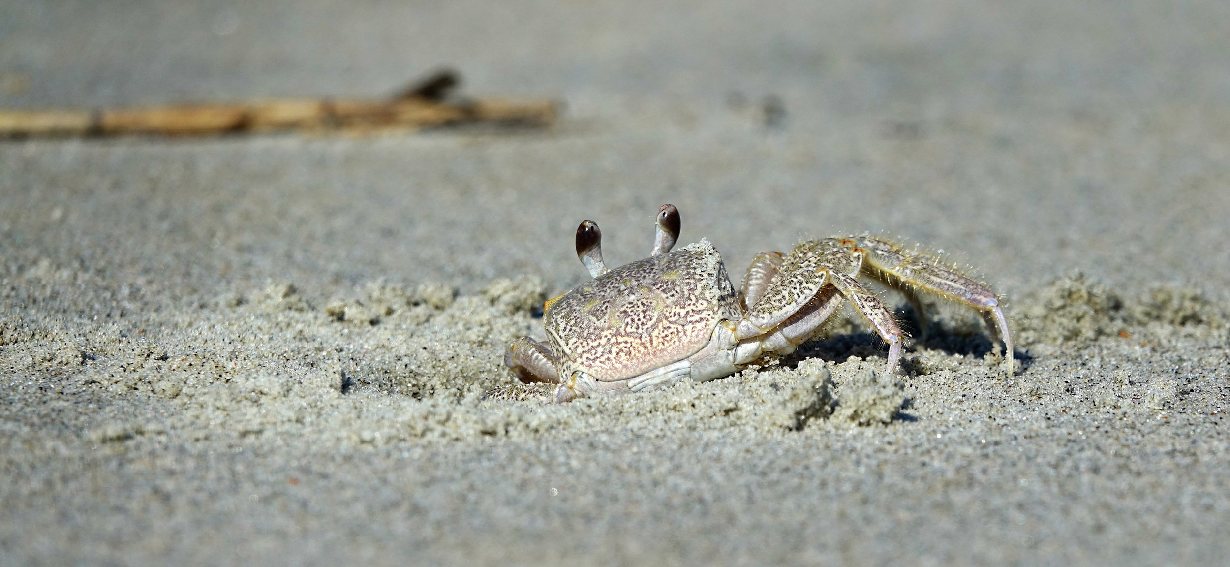 ATLANTIC GHOST CRAB ( Ocypode quadrata),  South Carolina, August, 2017