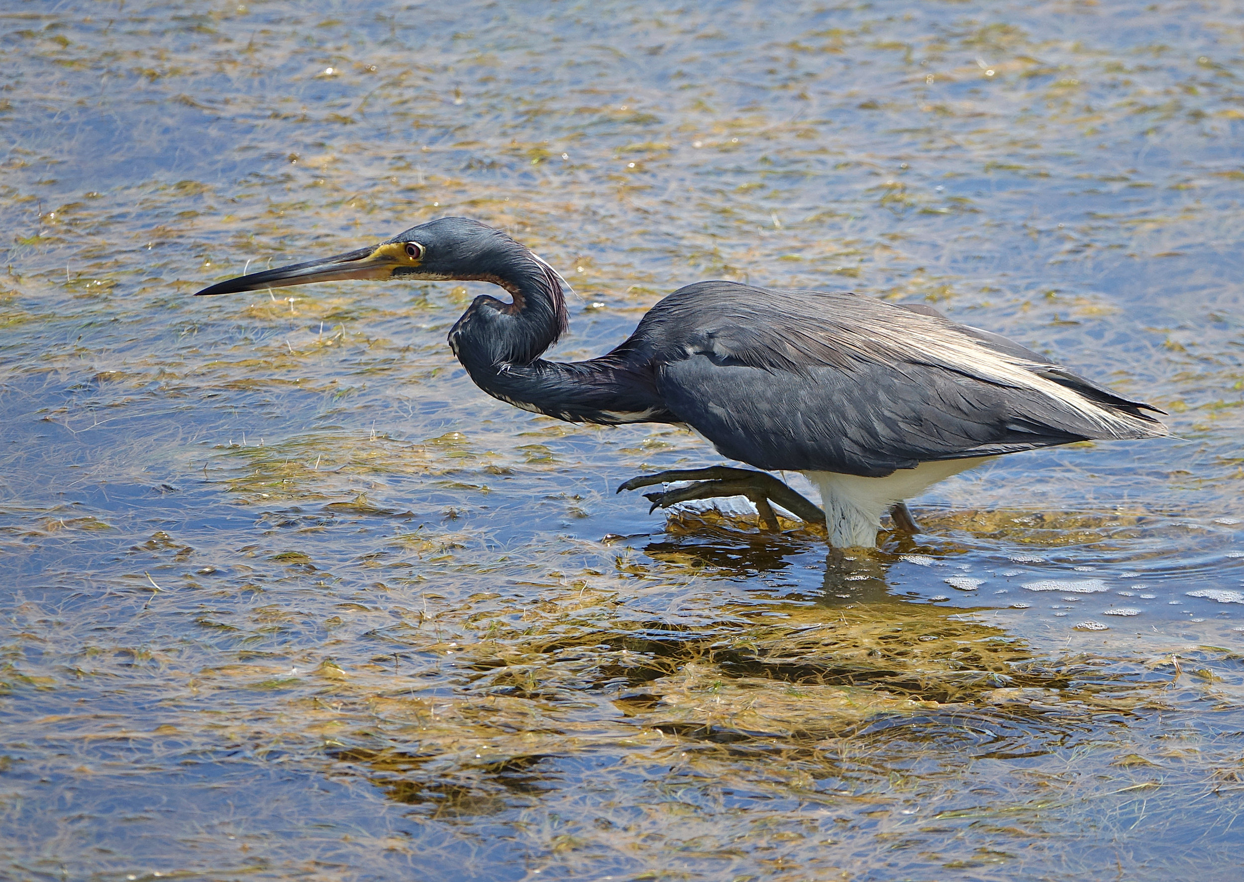 TRICOLORED HERON (Egretta tricolor), South Carolina, July 2018